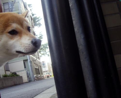 柴犬ズン画像070401