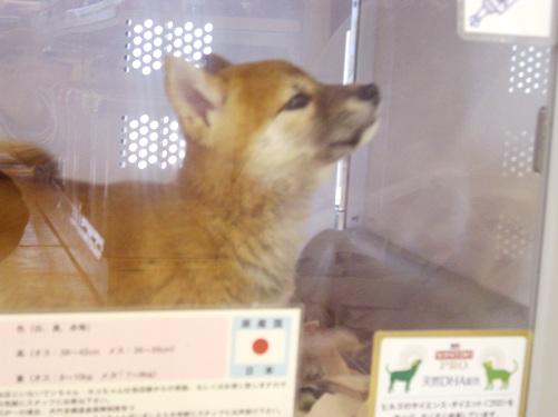 柴犬ズン画像0700511