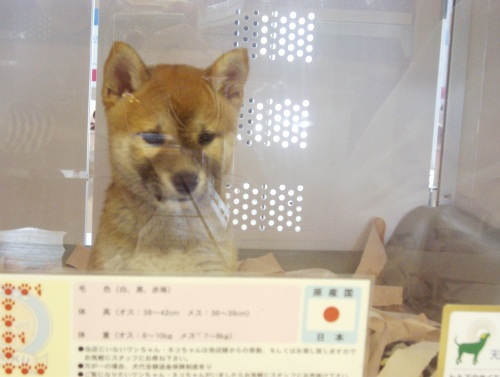 柴犬ズン画像070513