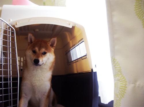 柴犬ズン画像0705009