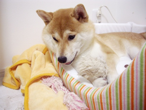 柴犬ズン画像070514