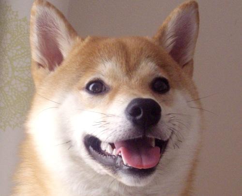 ズン画像0706柴犬ブログランキングへ