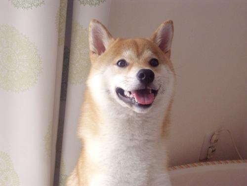 柴犬ズン画像070607