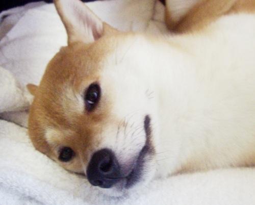 ズン画像柴犬ブログランキングへ0707
