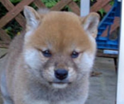 ズン画像柴犬ブログランキングへ0708