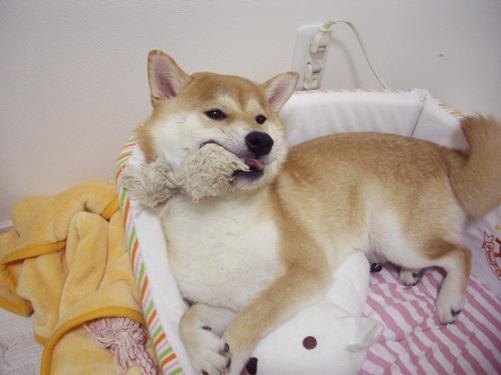 柴犬ズン画像070801