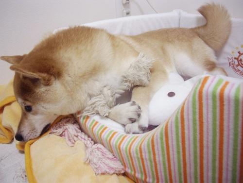 柴犬ズン画像070802