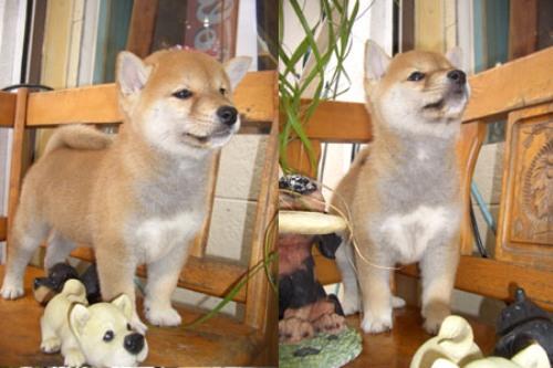 柴犬ズン画像070804