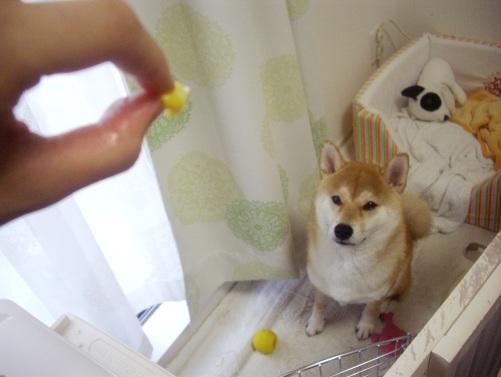 柴犬ズン画像070904