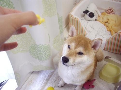 柴犬ズン画像070914