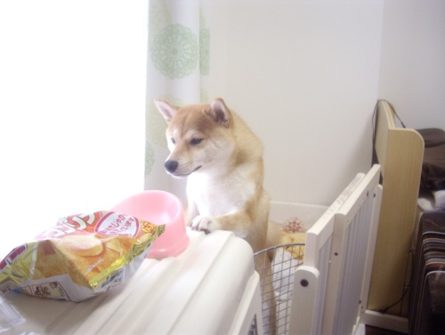 柴犬ズン画像070909
