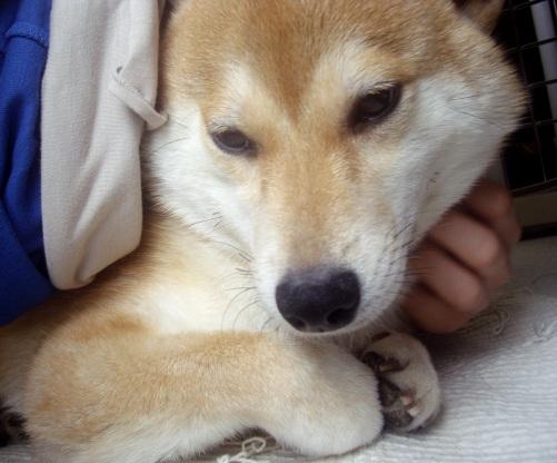 柴犬ズン画像071006