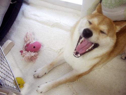 柴犬ズン画像071101