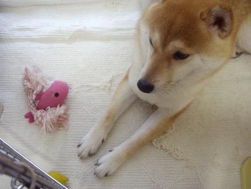 柴犬ズン画像071105
