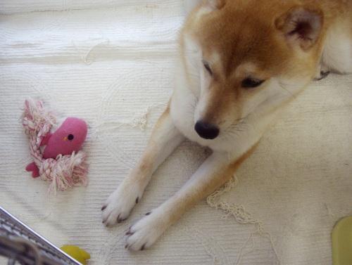 柴犬ズン画像071104