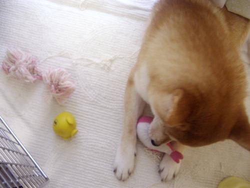 柴犬ズン画像071107