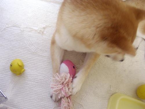 柴犬ズン画像071108