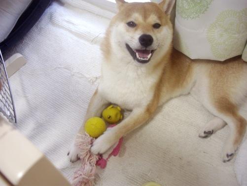柴犬ズン画像071110