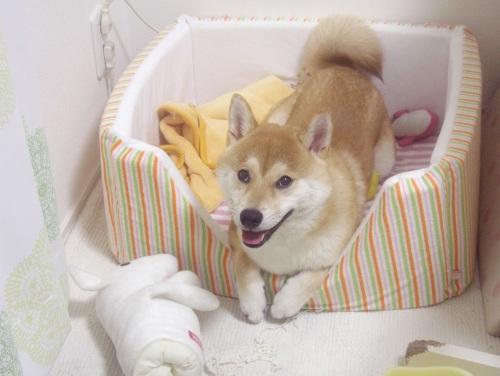 柴犬ズン画像071303