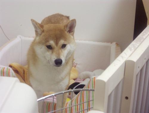 柴犬ズン画像071302