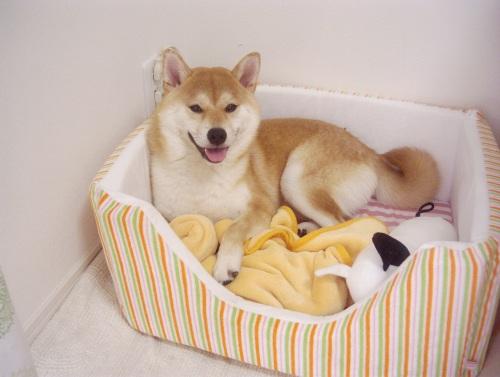 柴犬ズン画像071502
