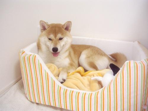 柴犬ズン画像071503