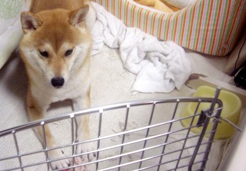 柴犬ズン画像071601