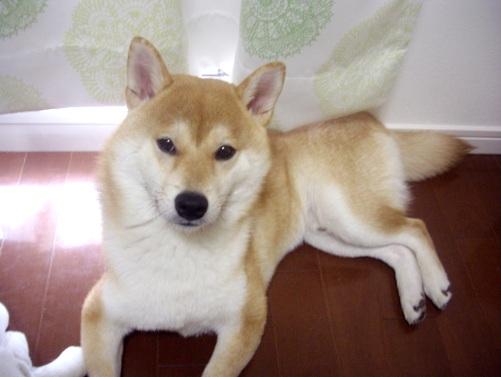 柴犬ズン画像01607