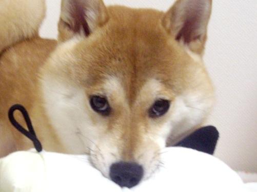 ズン画像柴犬ブログランキングへ0719