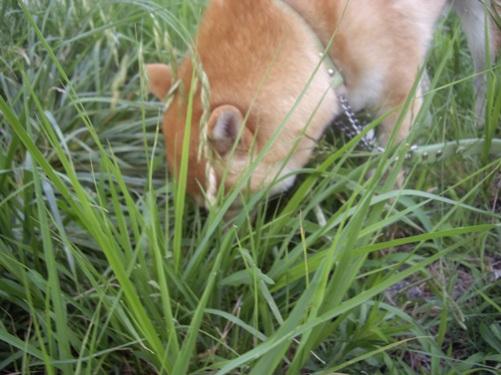 柴犬ズン画像071903