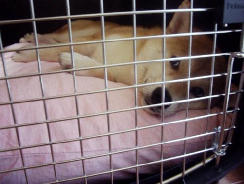 柴犬ズン画像071914