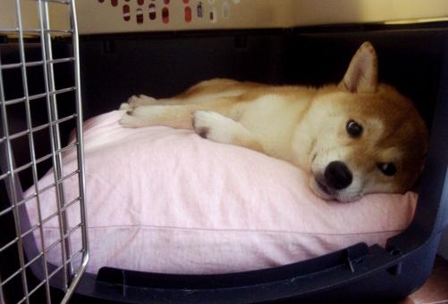 柴犬ズン画像071916