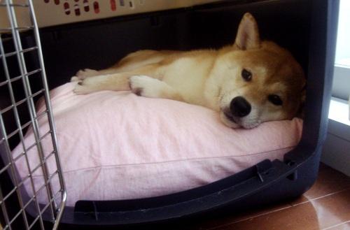 柴犬ズン画像071915