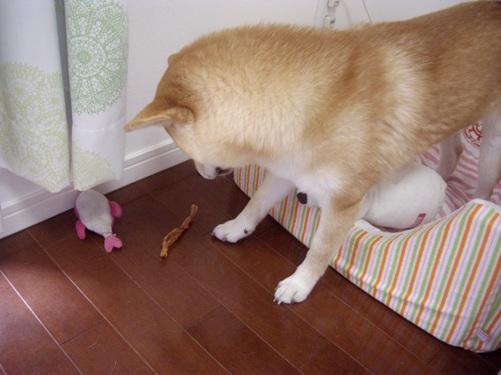 柴犬ズン画像072004