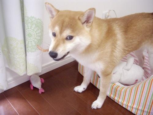 柴犬ズン画像072007
