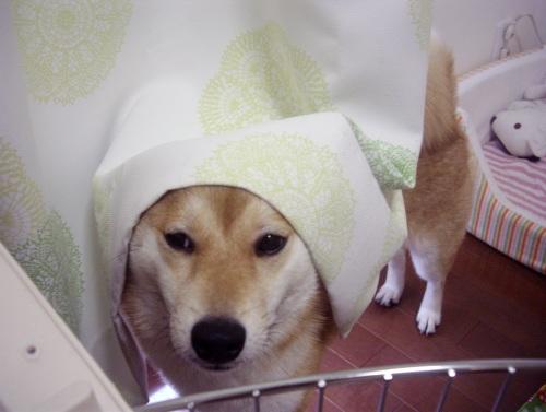 柴犬ズン画像072101