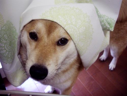 柴犬ズン画像072102