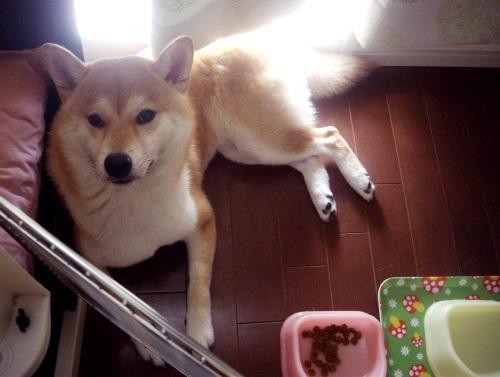 柴犬ズン画像072308