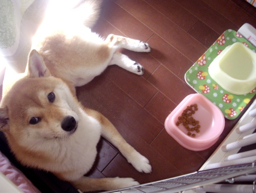 柴犬ズン画像072309