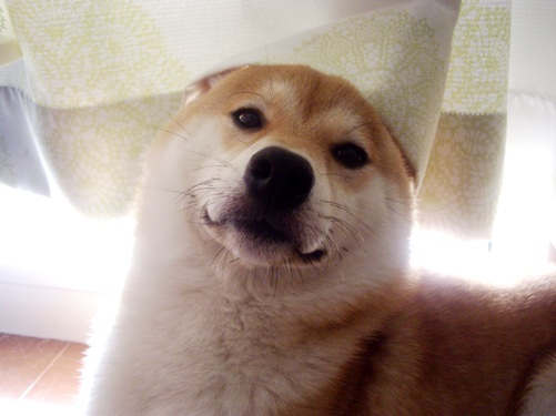 柴犬ズン画像072305