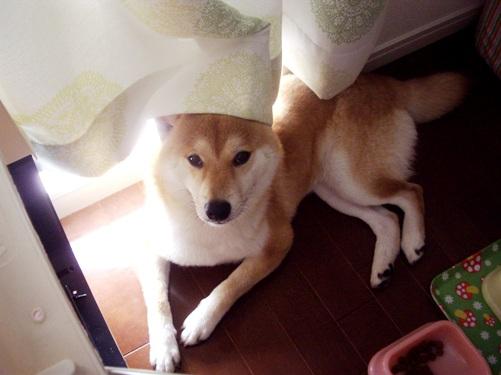柴犬ズン画像072303