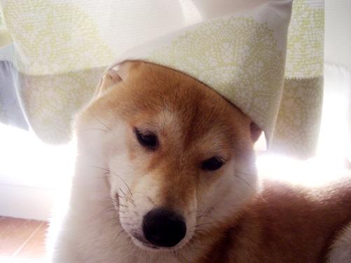 柴犬ズン画像072307