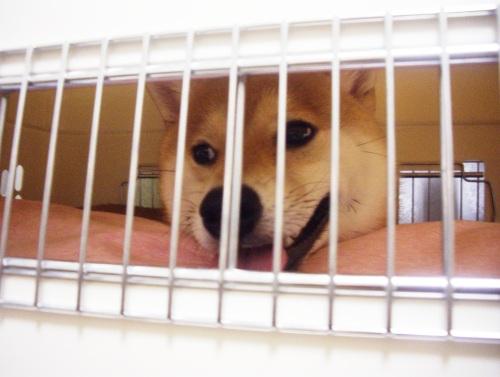 柴犬ズン画像072404