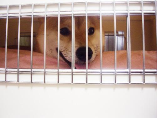 柴犬ズン画像072403