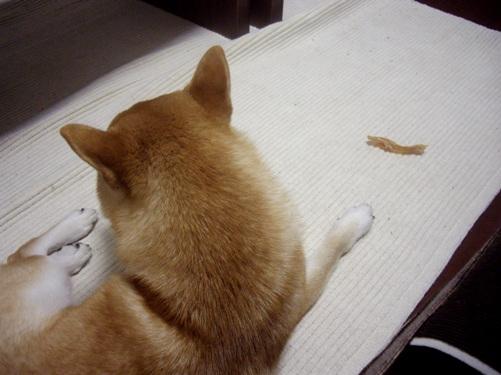 柴犬ズン画像072508