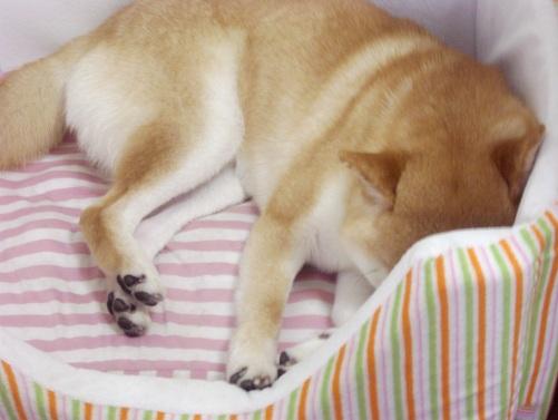 柴犬ズン画像072601