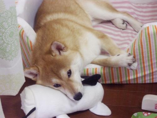 柴犬ズン画像072708