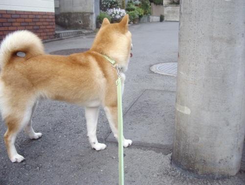 柴犬ズン画像072808