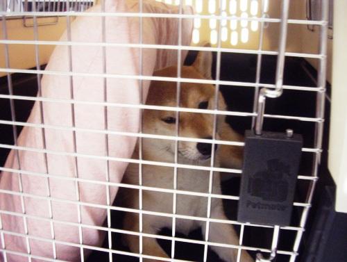 柴犬ズン画像072907