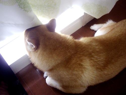 柴犬ズン画像073101